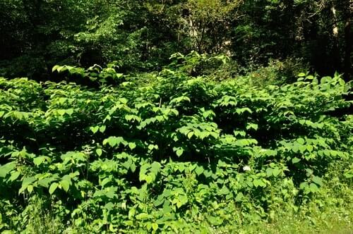 Is Knotweed Poisonous to Dogs, Cats and Humans? Swansea