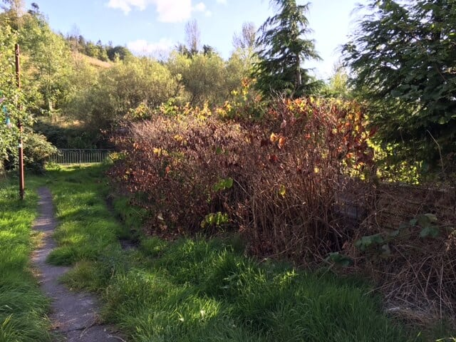 South Wales Knotweed Removal Company