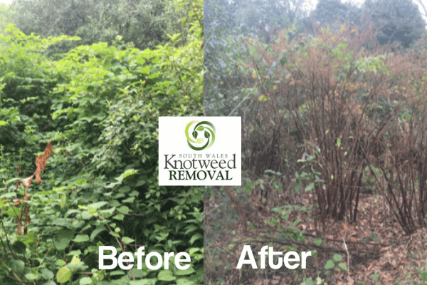 knotweed removal Swansea before and after