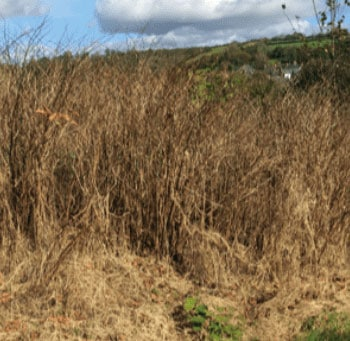 Remove Knotweed South Wales