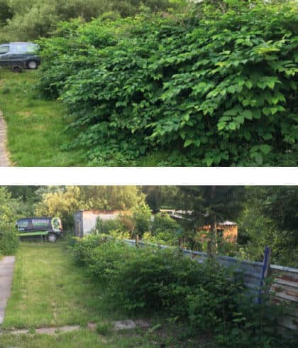 Before and After knotweed control