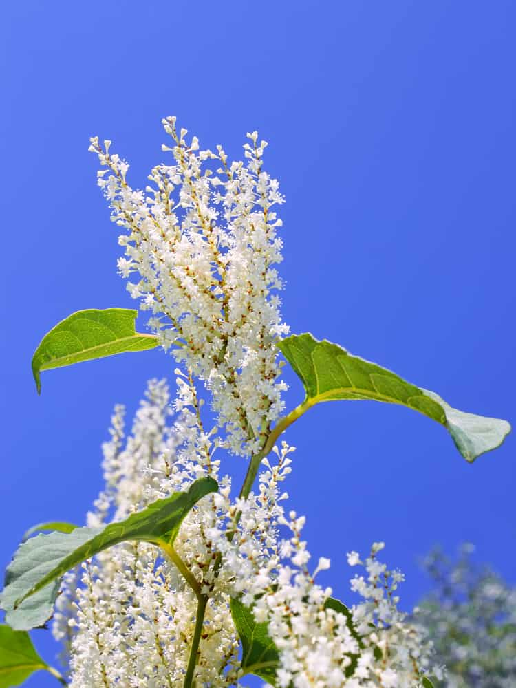 Japanese Knotweed Legislation