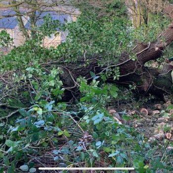 Chopping down oak trees Garnant