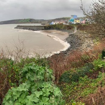 Knotweed removal New Quay, Ceredigion