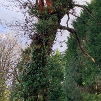 Removing decaying oak trees Garnant