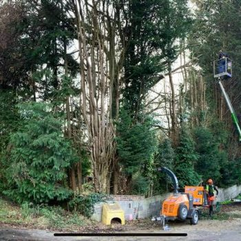 Trimming Cyprus trees South Wales